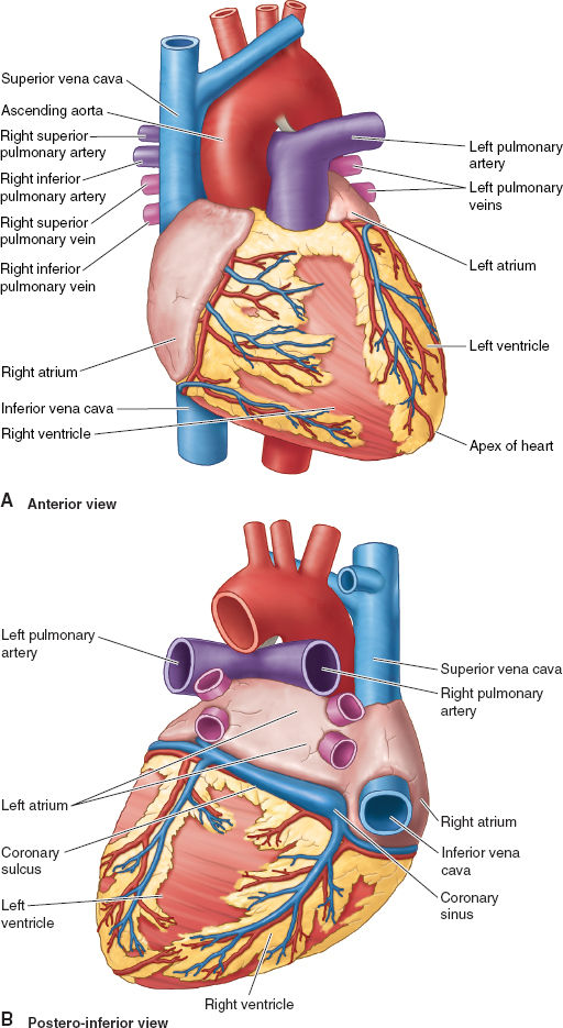 Cardiovascular Anatomy and Physiology | Anesthesia Key