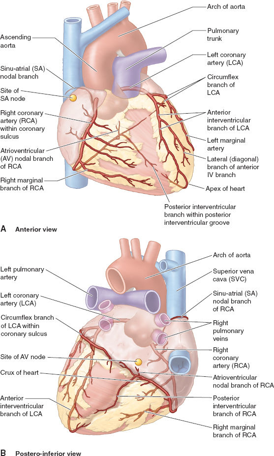 Cardiovascular Anatomy And Physiology Anesthesia Key
