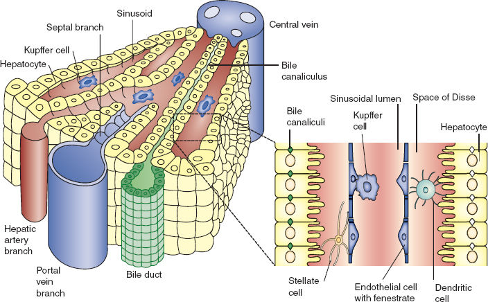 Diagram Of A Liver Lobule Images How To Guide And Refrence