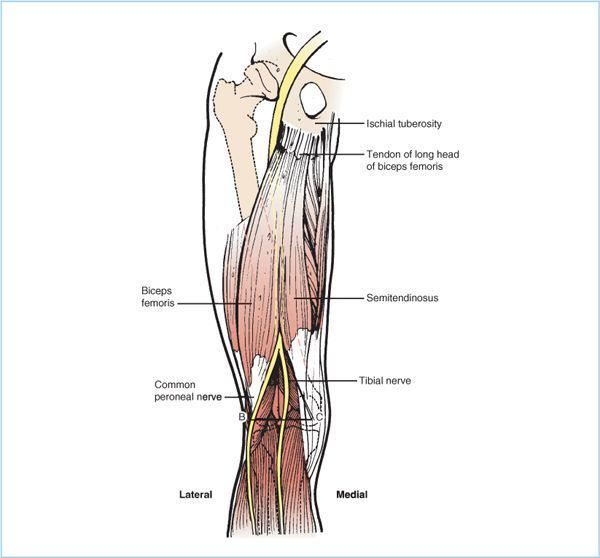 sacral plexus-sciatic nerve blocks | anesthesia key, Muscles