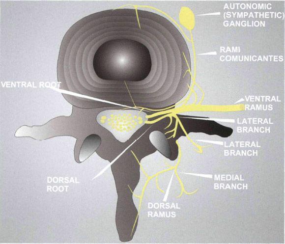 Functional Regional Anesthesia Anatomy    Anesthesia Key