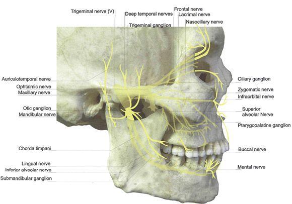 lateral pterygoid cadaver - photo #36