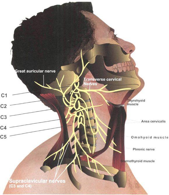 Cervical Plexus Block. | Anesthesia Key