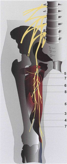 obturator nerve block. | anesthesia key, Muscles