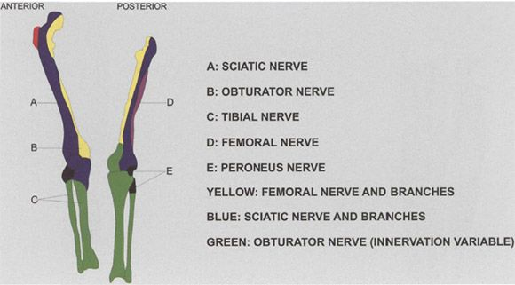 three-in-one block.   anesthesia key, Muscles