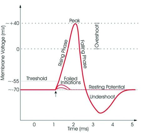 define the term threshold as it applies to an action potential
