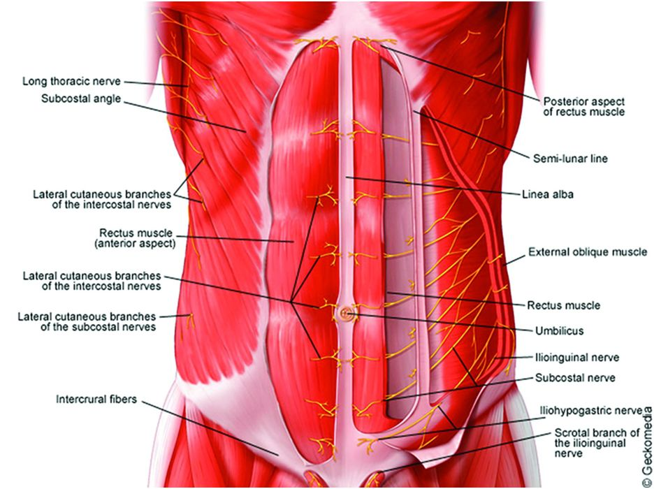 Anatomy Of The Neuraxis  Thoracic And Abdominal Walls