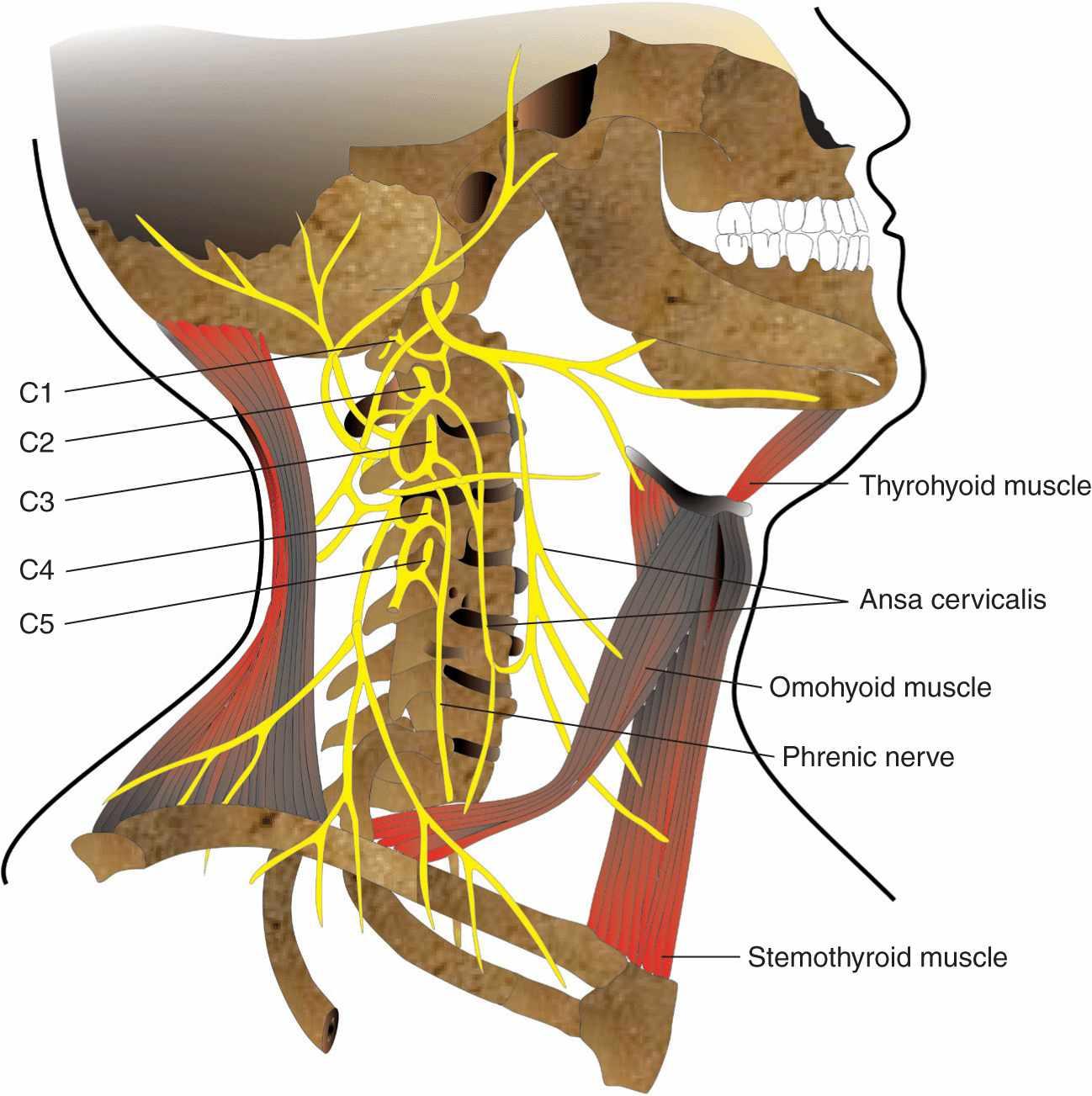 Cervical Plexus Block Anesthesia Key