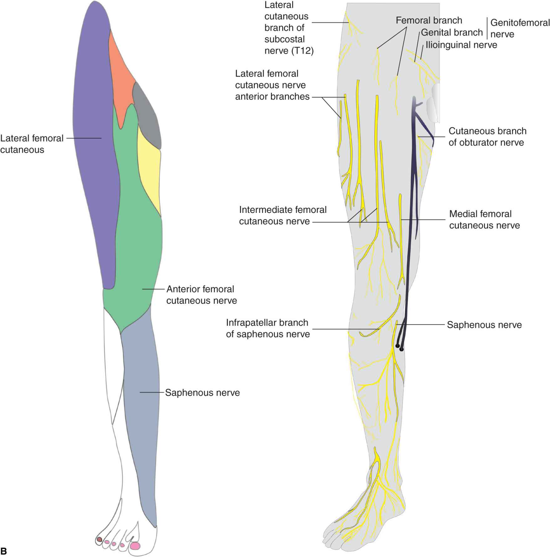 femoral nerve block | anesthesia key, Muscles