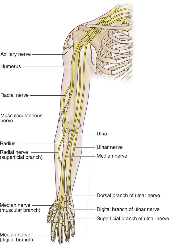 Erfreut Mediannerv Anatomie Ideen - Anatomie Ideen - finotti.info