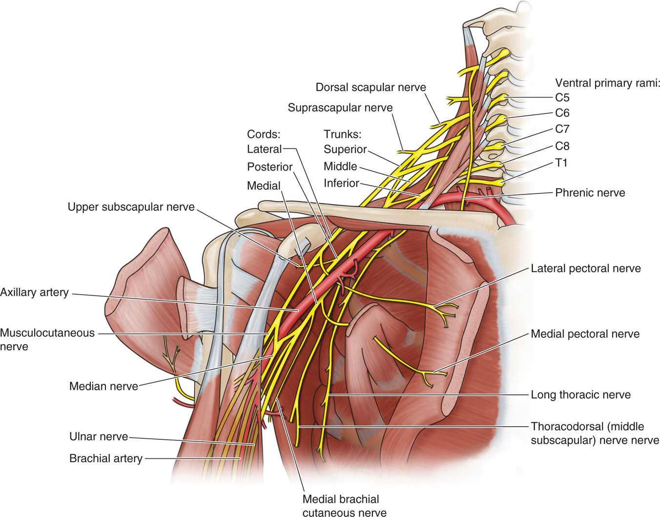 Supraclavicular and Infraclavicular Nerve Blocks | Anesthesia Key