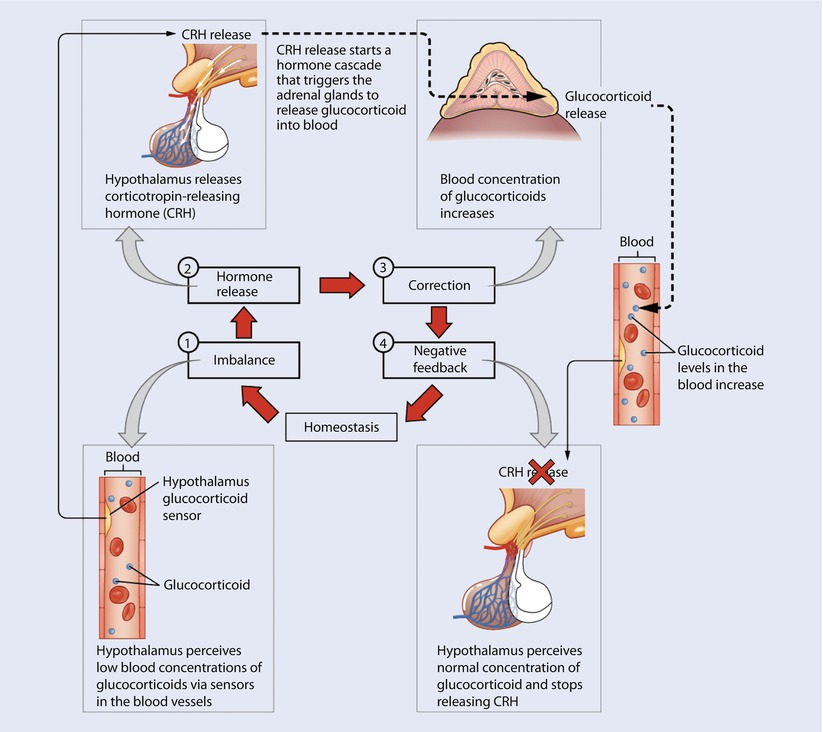 Physiology of the Endocrine System and Metabolic Complications in ...